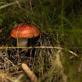 wandering the woods by Daniel Budau - Nature Up Close Mushrooms & Fungi ( mushroom, mushroom red )