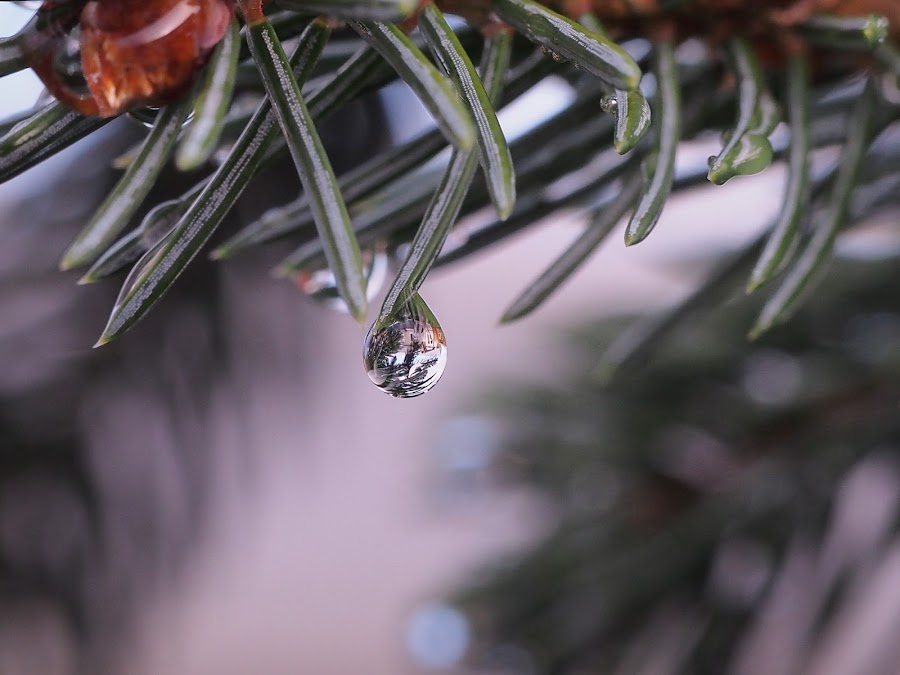 Water drops by Ólafur Ingi Ólafsson - Nature Up Close Natural Waterdrops ( reykjavík, water, iceland, water drops, tree, green, drop, drops, ísland, water drop,  )