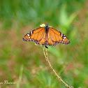 Borboleta-monarca do Sul (Southern Monarch butterfly)