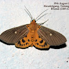 Snout Tiger Moth