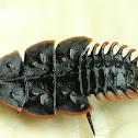 Trilobite Beetle