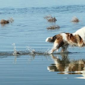 Reflection by Karin Bennett - Animals - Dogs Running ( collie, dogs, running )