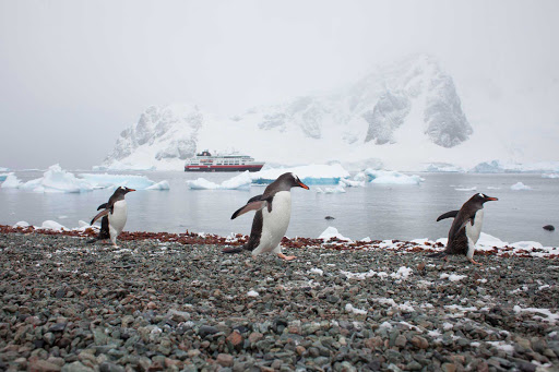Hurtigruten-Fram-penguins-Antarctica-2 - Race ya! Explore the breeding site of Gentoo penguins as you travel on Hurtigruten's ship ms Fram to remote Danco Island, just off Antarctica.