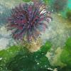 feather duster worm / Sabellastarte