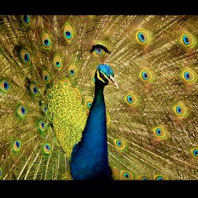 Pavão by Thiago Silva - Animals Birds ( bird, blue, color,  )
