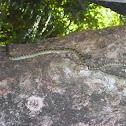Gliding Snake (or) golden tree snake