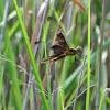 Widow Skimmer dragonfly