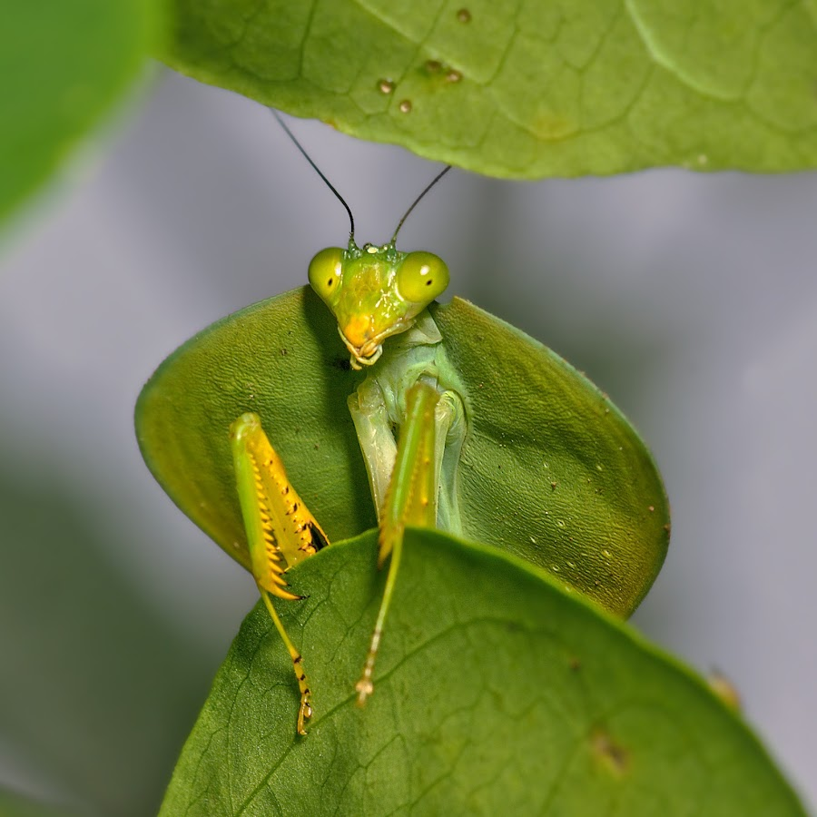 Taking a Peek by Siggy In Costa Rica - Animals Insects & Spiders ( macro, green, hooded, mantis, insect, portrait, close-up )
