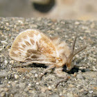 Unidentified Flannel Moth