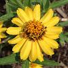 Cape daisy
