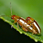 Palestriped flea beetles (mating)