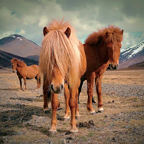 Horses in the wild west... by Kristján Karlsson - Animals Horses ( iceland, nature, horses )