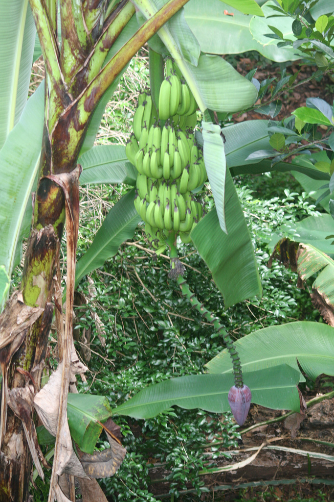 Unknown Banana Plant