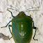 Green Vegetable Bug