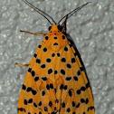 Crotalaria Podborer Moth