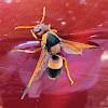 Australian Hornet (aka Potter Wasp)
