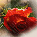 Red Rose Under Rain Live Wallp icon