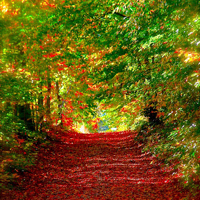 Follow the Path by David W Hubbs - Landscapes Forests ( forest path, autumn leaves, autumn, canadian autumn, forest floor, autumn colors )