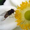 Sírfido, Syrphidae (Hoverfly)