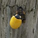 Yellow young ladybug