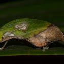 Leaf Kattydid