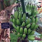 Dwarf Banana