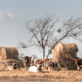 Longhorns by Bob Barrett - Animals Other ( longhorn, hay, texas, cow, cattle )