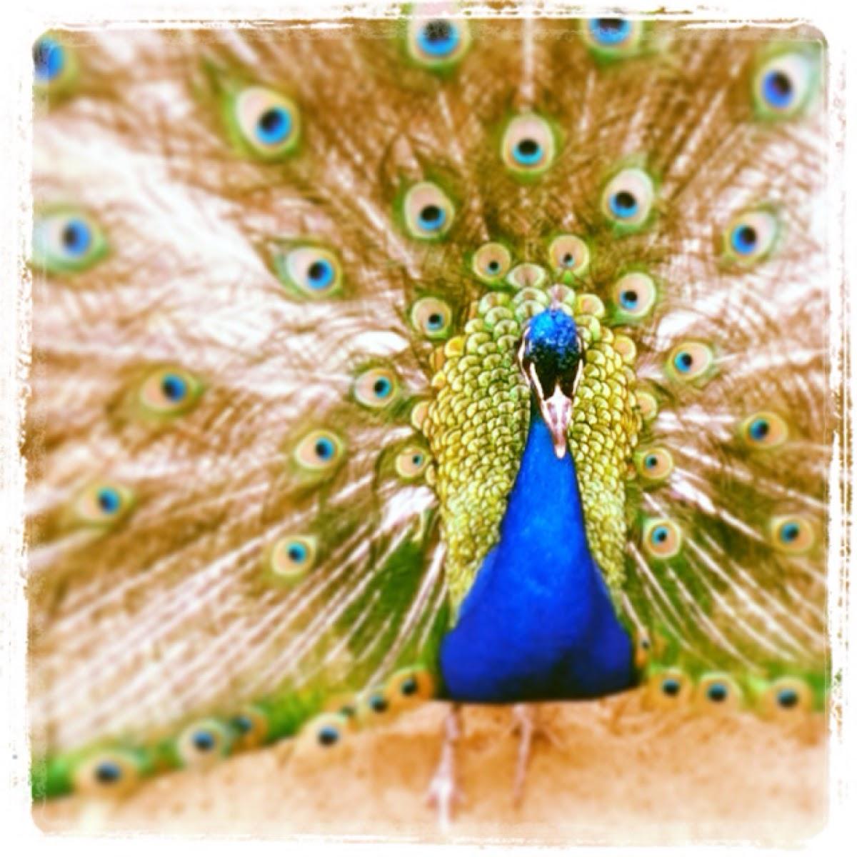 Peacock(male)