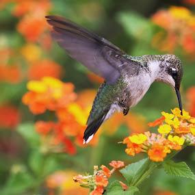 Hummingbird Feeding by George Holt - Animals Birds ( hovering, orange, flying, hummingbird, feeding, yellow, flower )