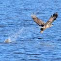 Bald Eagle Fish Fight
