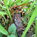 Cicada Wasp
