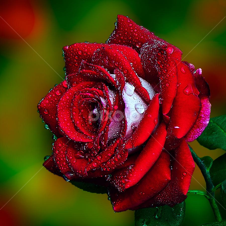 Final Rose by TEDDY ZUSMA - Flowers Single Flower