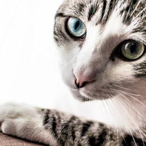 Cat Eyes by Bob Barrett - Animals - Cats Portraits ( kitten, cat, cat eyes, pet, portrait, eyes )