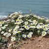 Coastal false chamomile