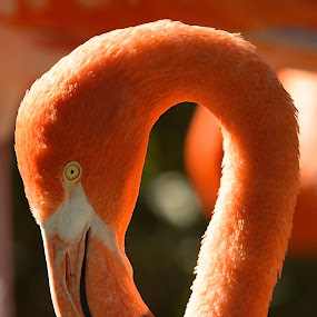 Looks Like A Question Mark by Ed Hanson - Animals Birds ( bird, nature, flamingo, pink )