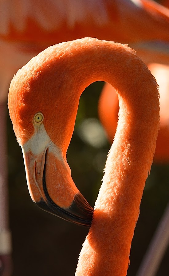 Looks Like A Question Mark by Ed Hanson - Animals Birds ( bird, nature, flamingo, pink )