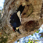 (Female) Acorn Woodpecker
