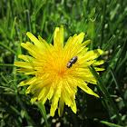 Flower Buprestid