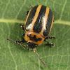 Calligrapha Leaf Beetle