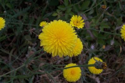 Hypochoeris radicata, Costolina giuncolina, Gemeines Ferkelkraut, hierba del halcón, leituga, porcelle enracinée