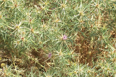 Centaurea calcitrapa, Calcatreppola, Cardo riccio, centaurée chausse-trape, centáurea-colirada, centáurea-estrela, Fiordaliso stellato, purple star thistle, purple starthistle, red star thistle, red star-thistle, star thistle
