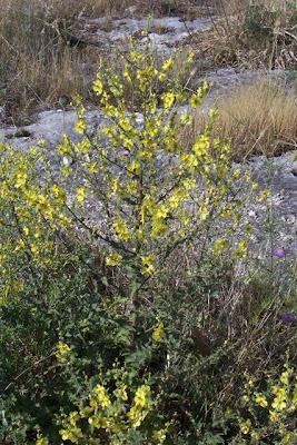 Verbascum sinuatum, Verbasco sinuoso, Wavy Leaved Mullein, wavyleaf mullein