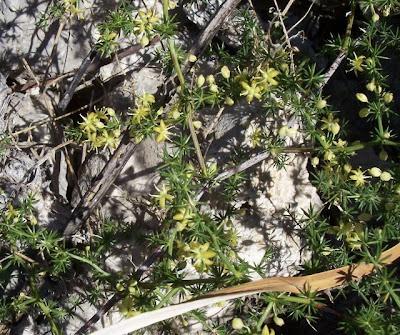 Asparagus acutifolius, Asparago pungente, Wild Asparagus
