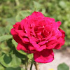 Hybrid Tea Rose 'Chrysler Imperial'