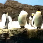 Emporer Penguin