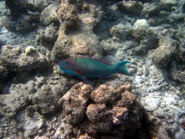 Two-Color Parrotfish