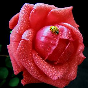 Friendship by Biljana Nikolic - Flowers Single Flower ( petals, beautiful, nice, waterdrops, rose bud, nature, fresh, friendship, red rose, freshness, beautiful rose, rose with lady bug, garden, flower )