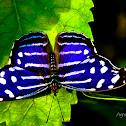 Mariposa Azul Real