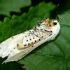 Salt marsh moth (female)