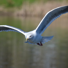 Comin' To You by Ed Hanson - Animals Birds ( bird, gull, nature, in-flight, close-up )